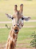 zamknięty zamknięta Afrykanin żyrafa Zdjęcie Royalty Free