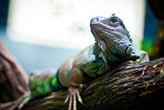 zamknięty zamknięta iguana Obrazy Royalty Free