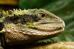 zamknięty zamknięta iguana Fotografia Stock