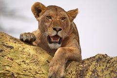zamknięty zamknięta lwica Obrazy Royalty Free