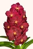 zamknięty zamknięta orchidea Zdjęcie Stock