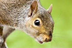 zamknięty zamknięta wiewiórka Fotografia Royalty Free