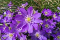 zamknięty zamknięte anemon purpury obraz royalty free