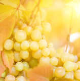 zamkniętych winogron dojrzały strzał dojrzały obraz royalty free