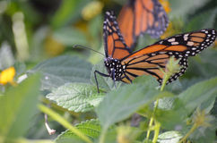 Zamknięta fotografia monarchiczny motyl Obraz Stock