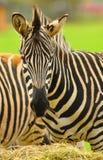 Zamknięta Zebra Obrazy Stock
