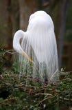 zamkniętego egret wielki biel Fotografia Royalty Free