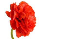zamkniętego kwiatu czerwony tulipan czerwony Zdjęcie Stock