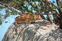zamknięty Afrykanina lew Fotografia Stock