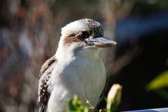 zamknięty Australijczyka kookaburra Zdjęcie Stock