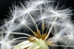 zamknięty dandelion Fotografia Royalty Free