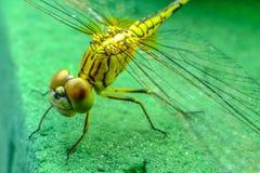 zamknięty dragonfly Fotografia Stock