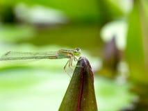 zamknięty dragonfly Zdjęcie Royalty Free