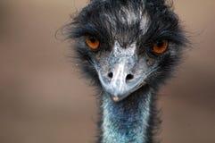 zamknięty emu Obraz Royalty Free