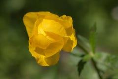zamknięty globeflower zdjęcia royalty free