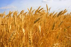 zamknięty kukurydzany crop kukurydzany Fotografia Stock