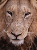 zamknięty lew zdjęcie stock