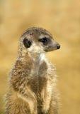 zamknięty meerkat Obraz Royalty Free