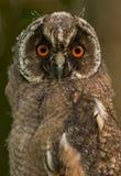 zamknięty owlet Zdjęcie Royalty Free