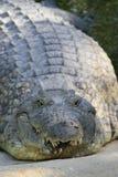 Zamkni?ty portret Nil krokodyl, Crocodylus niloticus, usta i z?by, zdjęcia stock
