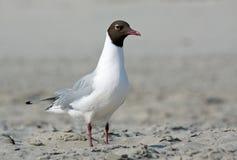 zamknięty seagull Obraz Royalty Free