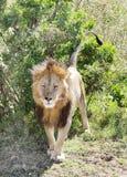 Zamknięty widok lew w Masai Mara Kenya Obraz Stock