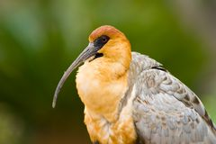 zamknięty szczegółu głowy ibis zamknięty Zdjęcia Stock