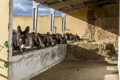Zamora donkeys Stock Photo