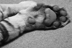 Zampa bianca della tigre Fotografie Stock Libere da Diritti
