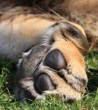 Zampa dei leoni fotografie stock libere da diritti