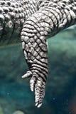 Zampa del caimano del coccodrillo Immagini Stock