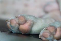 Zampa del cane del bulldog francese Immagini Stock Libere da Diritti