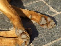 Zampa del cane di sonno Fotografia Stock