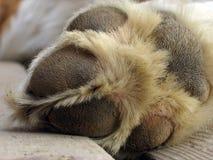 Zampa del cane di St Bernard Fotografia Stock Libera da Diritti