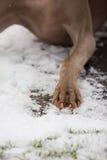 Zampa del cane in neve Fotografie Stock Libere da Diritti