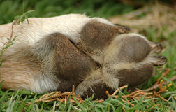 Zampa del cane vecchia Immagini Stock Libere da Diritti