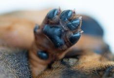 Zampa del cucciolo Immagini Stock Libere da Diritti