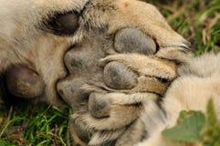 Zampa del leone Immagine Stock