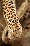 Zampa del leopardo Fotografie Stock