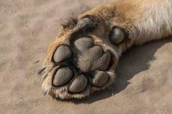 Zampa del ` s del leone sulla sabbia al parco zoologico fotografia stock