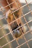 Zampa dell'orangutan Immagini Stock Libere da Diritti