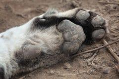 Zampa della tigre siberiana (altaica del Tigri della panthera), anche conosciuta Fotografie Stock