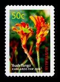 Zampa di canguro di tango di Bush, serie delle cultivar, circa 2003 Fotografie Stock Libere da Diritti