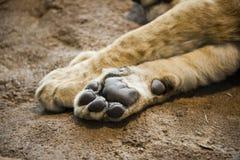 Zampa o piede del leone del particolare del primo piano Fotografia Stock