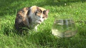 Zampe bagnate degli artigli del lavaggio pulito del gatto che si siedono vicino all'acquario di vetro con i pesci sull'erba close video d archivio