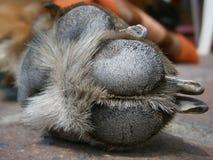 Zampe del cane del dettaglio Fotografia Stock Libera da Diritti
