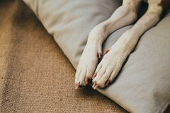 Zampe del cane di basenji sul cuscino immagine stock