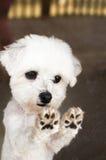 Zampe del cane maltese fotografia stock libera da diritti