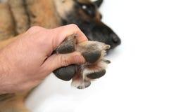 Zampe del cane su priorità bassa bianca Immagine Stock