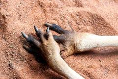 Zampe del canguro sulla sabbia Chiuda sull'immagine L'Australia, isola del canguro fotografia stock